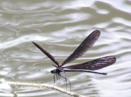 の 黒い トンボ 羽